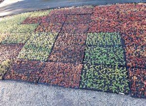 L'ESAT de Larmor-Plage produit des micrmottes de sedum et de plantes vivaces